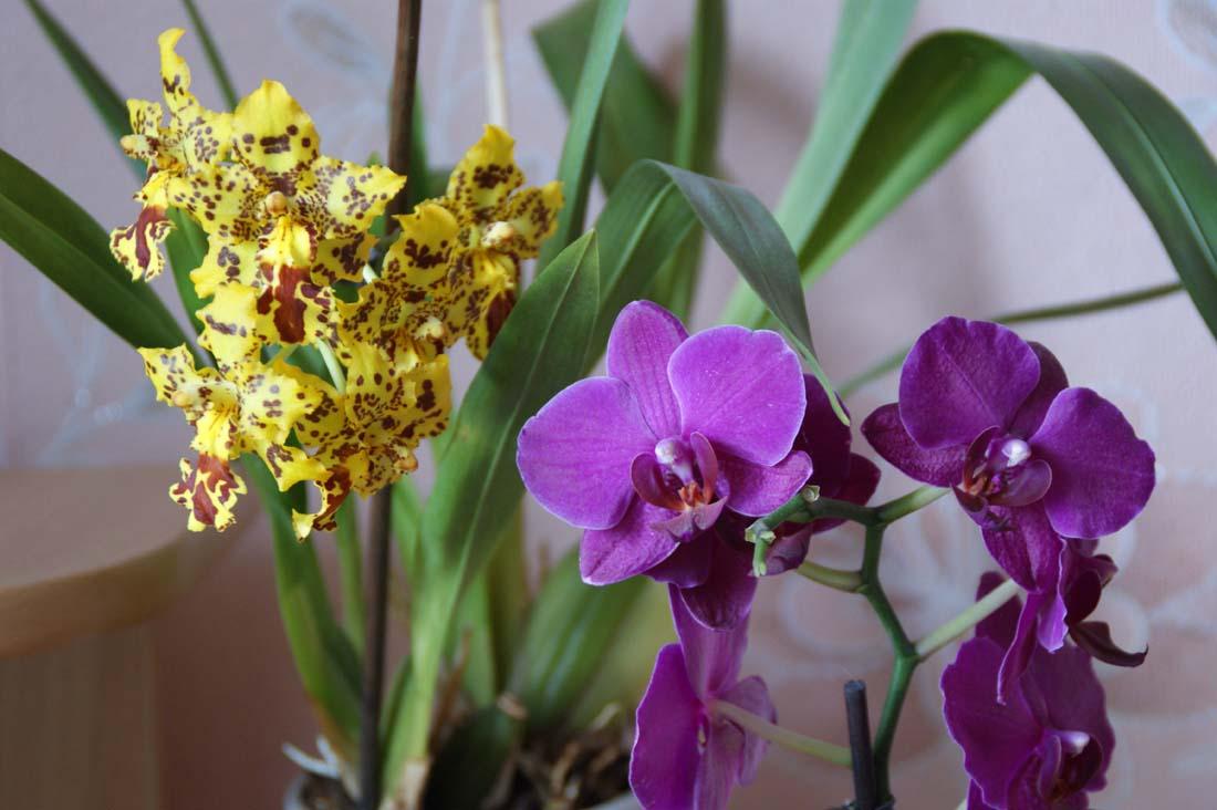 Сорта и виды орхидеи